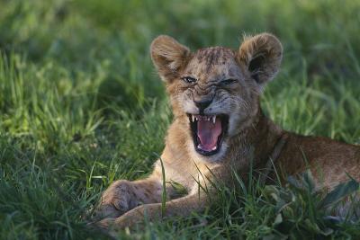Lion Cub Snarling-DLILLC-Photographic Print
