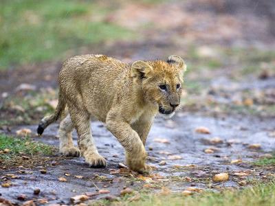 Lion Cub Walking in the Bush, Maasai Mara, Kenya-Joe Restuccia III-Photographic Print