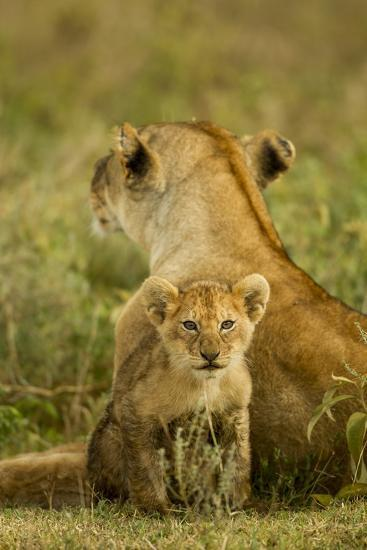 Lion Cub with Mother--Photographic Print