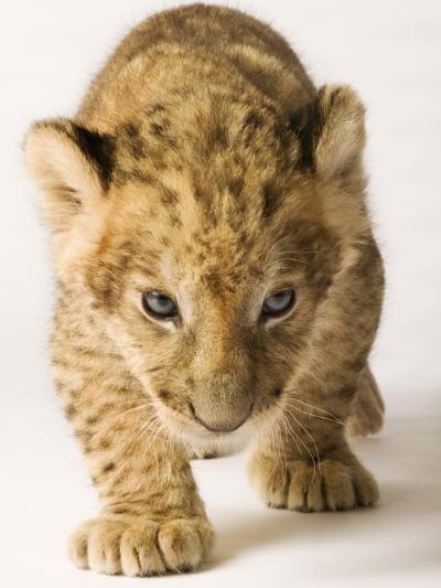 Lion Cub-Martin Harvey-Photographic Print