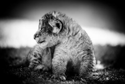 Lion Cub-Beth Wold-Photographic Print