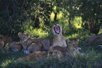 Lion Cubs Dozing under Trees-DLILLC-Photographic Print