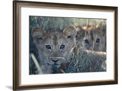 Lion Cubs in Grass-DLILLC-Framed Photographic Print
