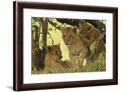 Lion Cubs in the Bush, Maasai Mara Wildlife Reserve, Kenya-Jagdeep Rajput-Framed Photographic Print