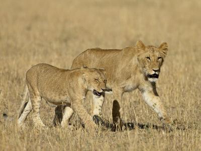 Lion Cubs, Masai Mara National Reserve, Kenya, East Africa, Africa-James Hager-Photographic Print
