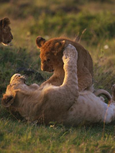 Lion Cubs Playing, Masai Mara, Kenya, East Africa, Africa-Murray Louise-Photographic Print