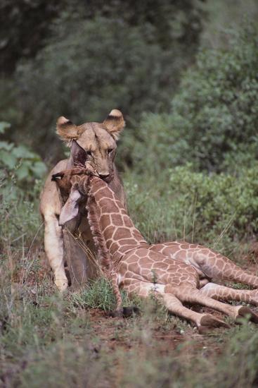 Lion Dragging Dead Giraffe Calf-DLILLC-Photographic Print