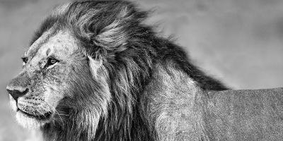 Lion Eyes-Xavier Ortega-Photographic Print