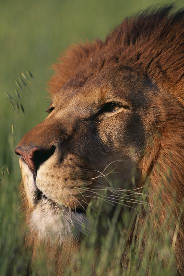 Lion in Grass-DLILLC-Photographic Print