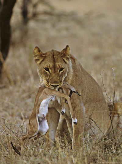 Lion, Lioness with Baby Impala Kill, Kenya, Africa-Daniel J. Cox-Photographic Print