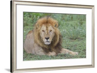 Lion Lying on Grass Resting, Look of Surprise While Looking at Viewer-James Heupel-Framed Photographic Print
