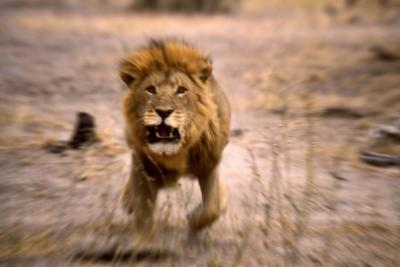Lion Male, Charging--Photographic Print