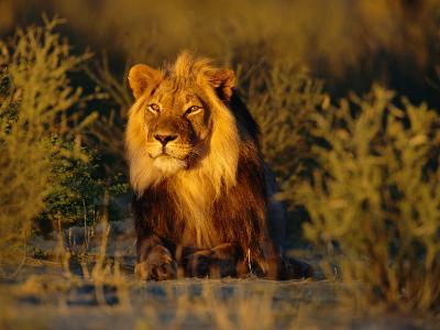 Lion Male, Kalahari Gemsbok, South Africa-Tony Heald-Photographic Print