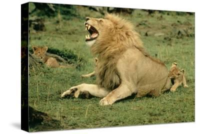 Lion Male Roaring, with Cub Biting Rump