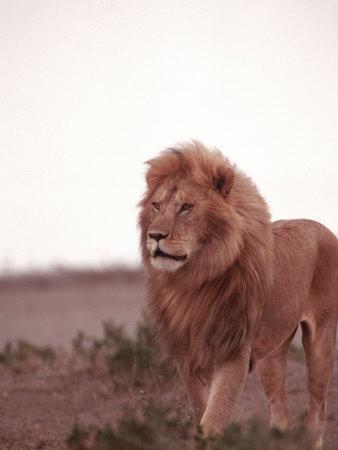 https://imgc.artprintimages.com/img/print/lion-masai-mara-game-resv-kenya-africa_u-l-p3e8wy0.jpg?p=0
