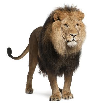 Lion, Panthera Leo, 8 Years Old, Standing in Front of White Background-Life on White-Photographic Print