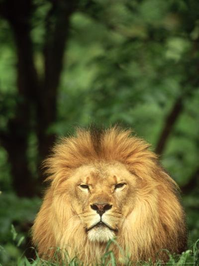 Lion, Panthera Leo Adult Male-Adam Jones-Photographic Print