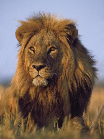 Lion, Panthera Leo, Chobe National Park, Botswana-Frans Lanting-Photographic Print