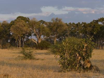Lion, Panthera Leo, Chobe National Park, Savuti, Botswana, Africa-Thorsten Milse-Photographic Print