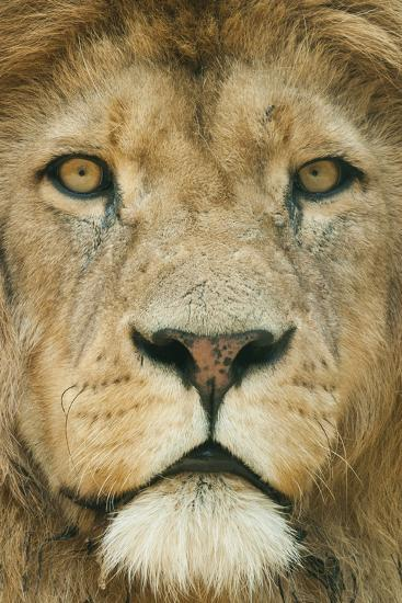 Lion (Panthera Leo) Close Up Portrait of Male, Captive Occurs in Africa-Edwin Giesbers-Photographic Print