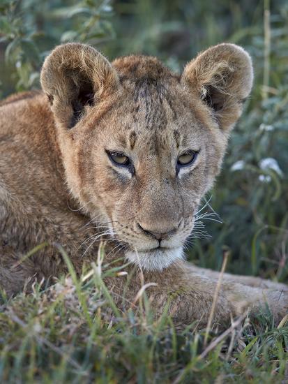 Lion (Panthera Leo) Cub, Ngorongoro Crater, Tanzania, East Africa, Africa-James Hager-Photographic Print