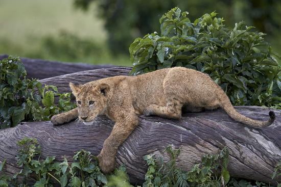 Lion (Panthera Leo) Cub on a Downed Tree Trunk in the Rain-James Hager-Photographic Print