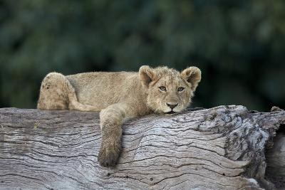 Lion (Panthera Leo) Cub on a Downed Tree Trunk, Ngorongoro Crater, Tanzania, East Africa, Africa-James Hager-Photographic Print