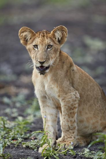 Lion (Panthera leo) cub, Selous Game Reserve, Tanzania, East Africa, Africa-James Hager-Photographic Print