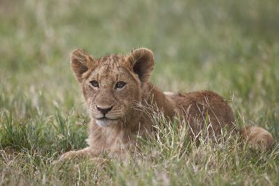 Lion (Panthera Leo) Cubs, Ngorongoro Crater, Tanzania, East Africa, Africa-James Hager-Photographic Print