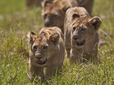 Lion (Panthera Leo) Cubs, Ngorongoro Crater, Tanzania, East Africa, Africa-James Hager-Photographic Print