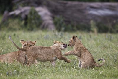 Lion (Panthera Leo) Cubs Playing, Ngorongoro Crater, Tanzania, East Africa, Africa-James Hager-Photographic Print