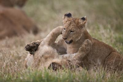 https://imgc.artprintimages.com/img/print/lion-panthera-leo-cubs-playing-ngorongoro-crater-tanzania-east-africa-africa_u-l-pwfg4v0.jpg?p=0