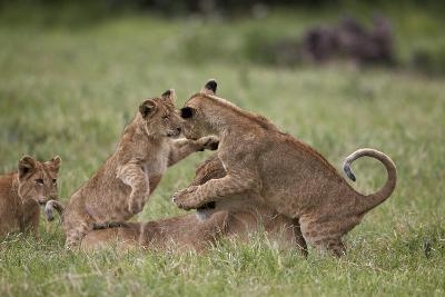 Lion (Panthera Leo) Cubs Playing, Ngorongoro Crater, Tanzania, East Africa, Africa-James Hager-Photographic Print