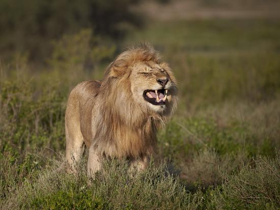 Lion (Panthera Leo) Demonstrating the Flehmen Response-James Hager-Photographic Print