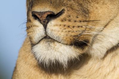 Lion (Panthera Leo) Female Close Up Of Nose An Chin, Masai Mara Game Reserve, Kenya-Denis-Huot-Photographic Print