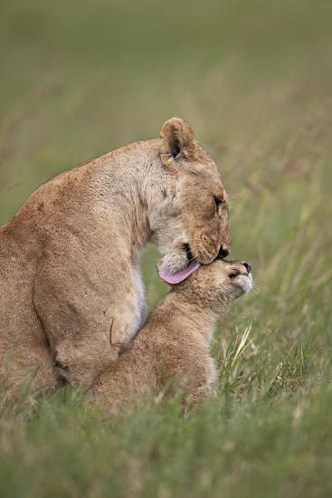 Lion (Panthera Leo) Female Grooming a Cub, Ngorongoro Crater, Tanzania, East Africa, Africa-James Hager-Photographic Print