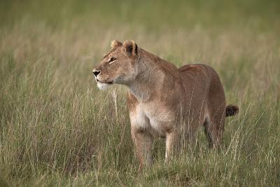 Lion (Panthera Leo) Female (Lioness) in Tall Grass-James Hager-Photographic Print