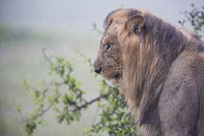 Lion (Panthera Leo) in Heavy Rain, Okavango Delta, Botswana-Wim van den Heever-Photographic Print