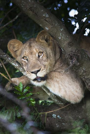 Lion (Panthera Leo) in Tree, Phinda Private Game Reserve, South Africa, Africa-Ann and Steve Toon-Photographic Print