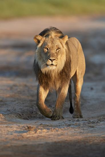 Lion (Panthera leo), Kgalagadi Transfrontier Park, South Africa, Africa-James Hager-Photographic Print
