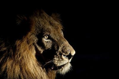Lion (Panthera Leo) Male with Scars Photographed with Side-Lit Spot Light at Night-Wim van den Heever-Photographic Print