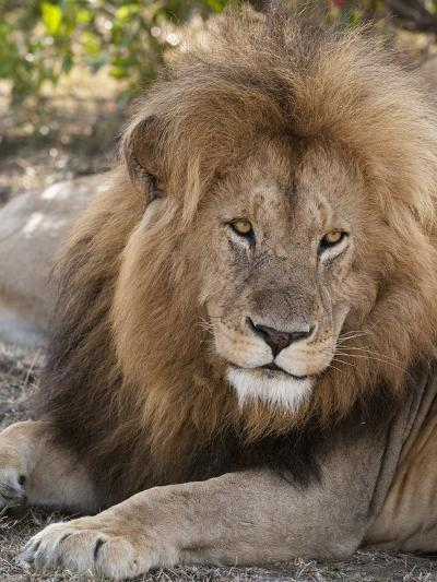 Lion (Panthera Leo), Masai Mara, Kenya, East Africa, Africa-Sergio Pitamitz-Photographic Print