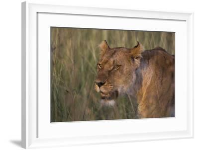 Lion (Panthera Leo), Masai Mara, Kenya, East Africa, Africa-Sergio Pitamitz-Framed Photographic Print