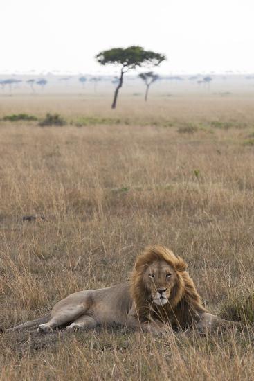 Lion (Panthera Leo), Masai Mara National Reserve, Kenya, East Africa, Africa-Ann and Steve Toon-Photographic Print