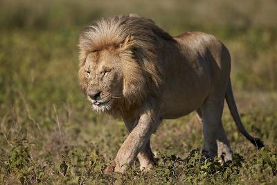 Lion (Panthera Leo), Ngorongoro Conservation Area, Serengeti, Tanzania, East Africa, Africa-James Hager-Photographic Print
