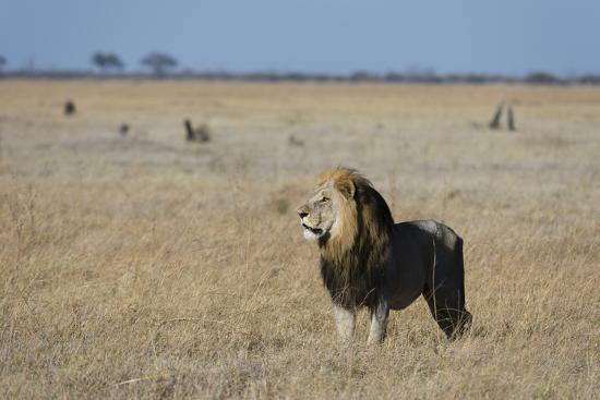 Lion (Panthera leo), Savuti, Chobe National Park, Botswana, Africa-Sergio Pitamitz-Photographic Print