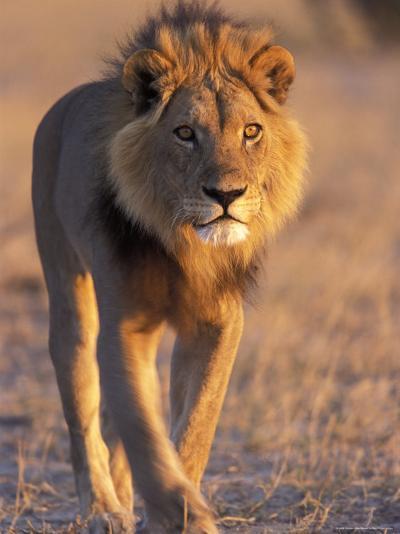 Lion, (Panthera Leo), Savuti, Chobe National Park, Botswana-Thorsten Milse-Photographic Print