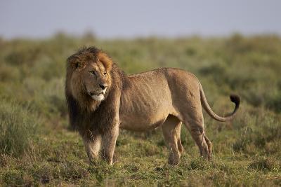 Lion (Panthera Leo), Serengeti National Park, Tanzania, East Africa, Africa-James Hager-Photographic Print