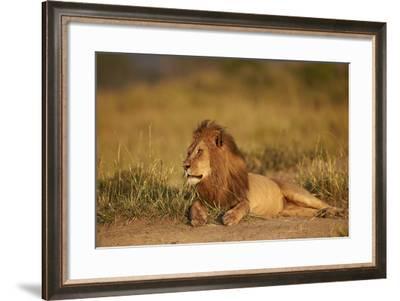Lion (Panthera Leo), Serengeti National Park, Tanzania, East Africa, Africa-James Hager-Framed Photographic Print