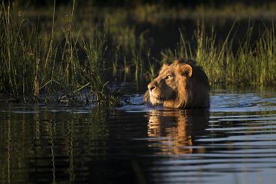Lion (Panthera Leo) Swimming, Okavango Delta, Botswana-Wim van den Heever-Photographic Print